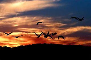 Geese -Morning Flight