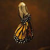 Butterfly_emerged_from_a_chrysalis